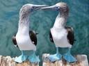 Piqueros de pata azul