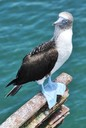 Blue footed booby on perch