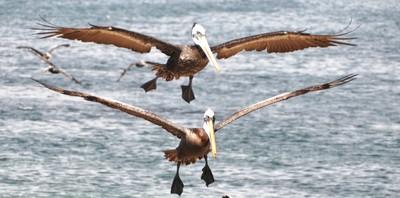 Pelican Tandem