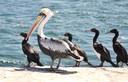 Guano Birds